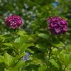 紫陽花30