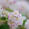 卯の花の咲く季節