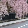 秋田県 角館 武家屋敷の枝垂れ桜