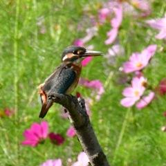 カワセミ♀幼鳥