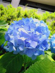 真昼の紫陽花