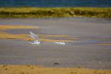 水浴びシリーズ エリグロアジサシ