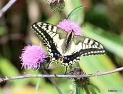 蝶とアザミ。