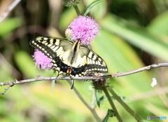 アザミと蝶。