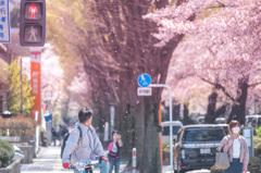 桜舞う交差点