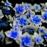 青い花って綺麗だよねー