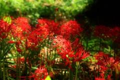 霞城公園の曼珠沙華2