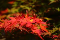 紅葉の赤盛り