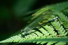 緑のヴェール ~ カワトンボ