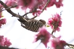 桜の中にコゲラ