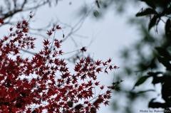 暗めの紅葉