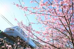 2016河津桜