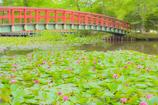 八郎沼公園スイレン