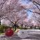 桜、はじめました