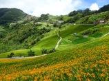 台湾の山奥に咲く花ワスレグサ
