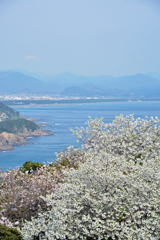 桜と煙樹ケ浜