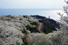 桜と煙樹ケ浜②