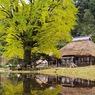 金言寺、銀杏の木