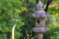 蓮の花の代わりに (三室戸寺 7)
