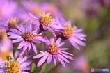 軽やかな薄紫 (キク 1)