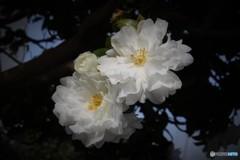 冬呼ぶ山茶花