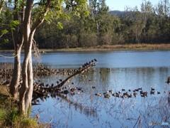暫しのお休み(オーストラリアの森中の池 2)
