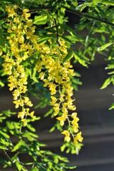 黄色が降り注ぐ (ストックホルムの花 1)
