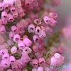 薄紫は秋の装い (エリカ)