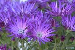 紫がはじけている。 (サイネリア)