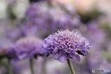 お澄ましな薄紫 (スカビオサ)