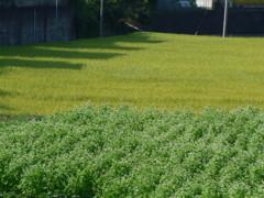 ソバ畑と稲田