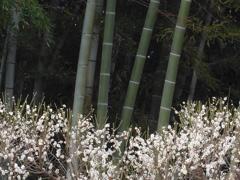 P1070383 竹林と白梅