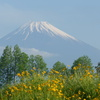 P1090325 富士山と黄色い花