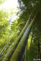 天までとどく竹林