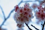 上野公園の桜 2018/2/19