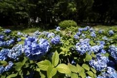 晴天紫陽花畑