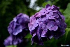 雨天紫陽花