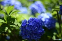 明暗紫陽花