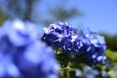 全青色紫陽花