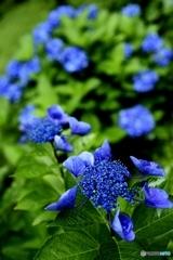鮮青緑紫陽花
