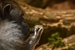 哀愁のチンパンジー