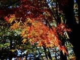 光差す紅の葉