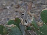 サボテンを食べるワタオウサギ4