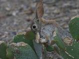 サボテンを食べるワタオウサギ5