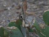 サボテンを食べるワタオウサギ2