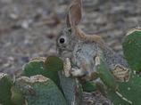 サボテンを食べるワタオウサギ3