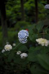 もみじと紫陽花