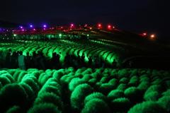 国営ひたち海浜公園のコキア ライトアップ