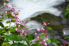 水辺の秋海棠♪5