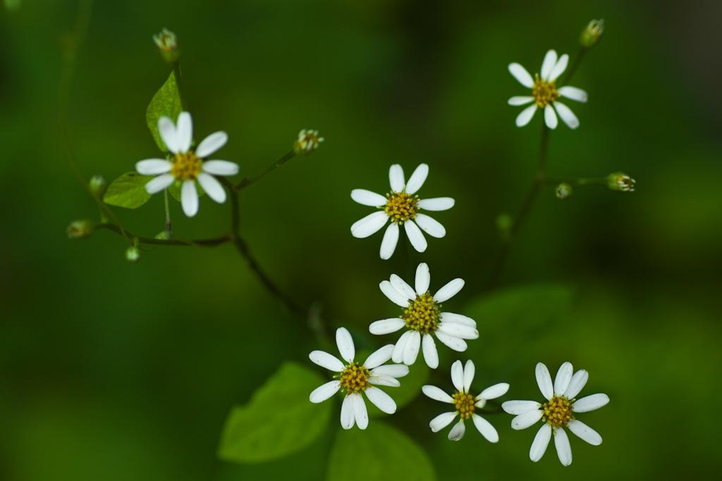 ちっちゃな白い花